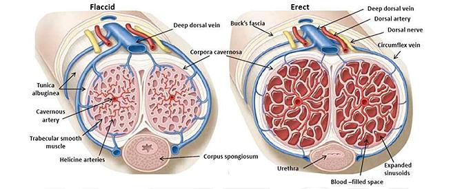 fase di erezione del pene